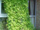 ゴーヤのグリーンカーテン