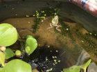 ビオトープのカエル